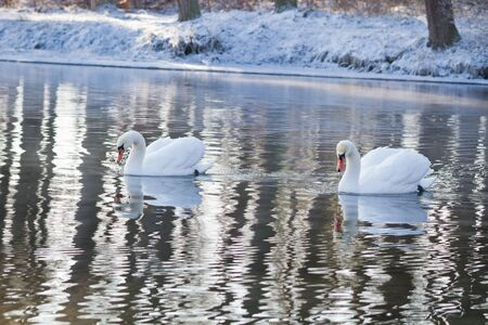 trumpeter swan: Two swans swimming in the river in winter Stock Photo