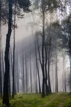 miracle leaf: Misty old foggy forest at sunrise Stock Photo