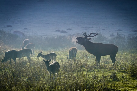 Deer with herd roaring on the meadow at sunrise Stock Photo - 12583950