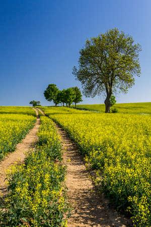Village Road between the field of oilseed rape photo
