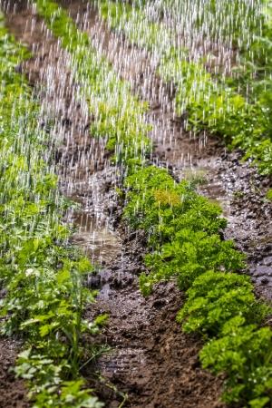 fertile land: Watering of cultivated fertile land