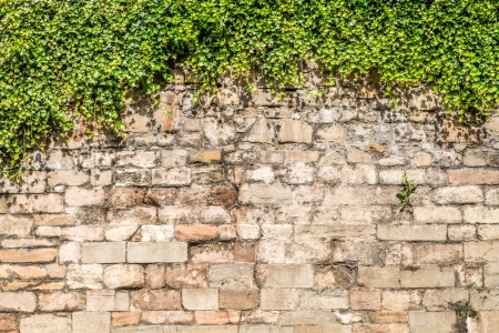 rockwall: Old medieval wall covered by ivy