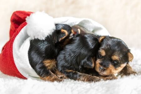 Three little puppies in Santa Claus hat Stock Photo - 17088748