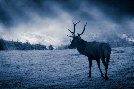 Majestic Bull on the meadow at moonlight photo