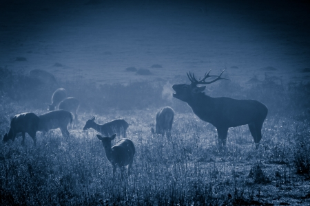 Deer with herd roaring on the meadow at moonlight Stock Photo - 17674356