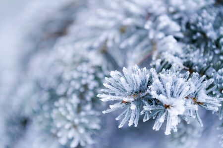 Frozen coniferous branches in white winter photo