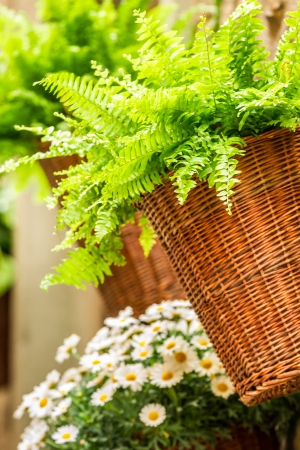 Small fern in a wicker basket hanging on the wall photo