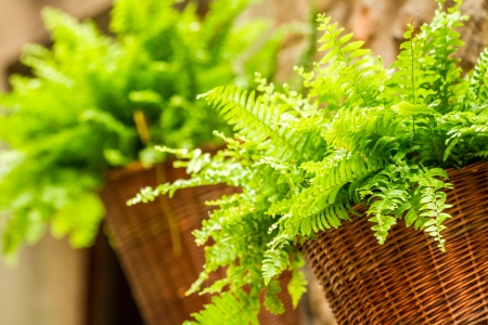 natue: Fern in a wicker basket hanging on the wall Stock Photo