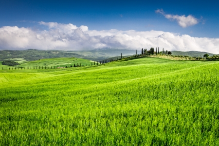 agriturismo: Green fields of wheat in the countryside, Tuscany