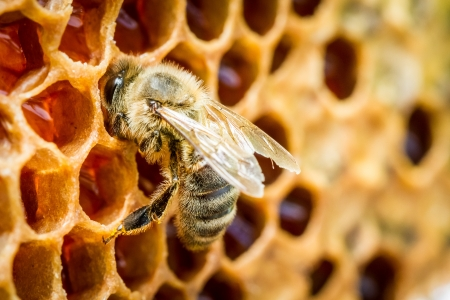 Close up of bees in a beehive on honeycomb photo