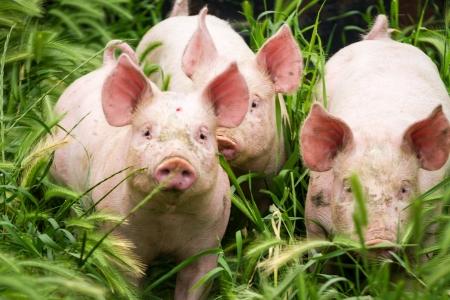 Wenig drei Schweine auf dem Feld im Sommer Lizenzfreie Bilder