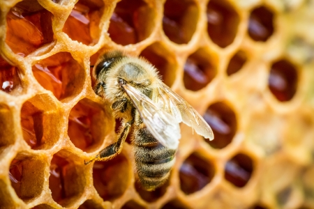 honey cell: Bees in a beehive on honeycomb