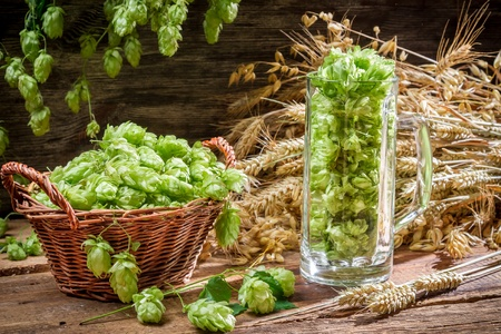 Freshly harvested hops as an ingredient for beer Stock Photo - 22171793