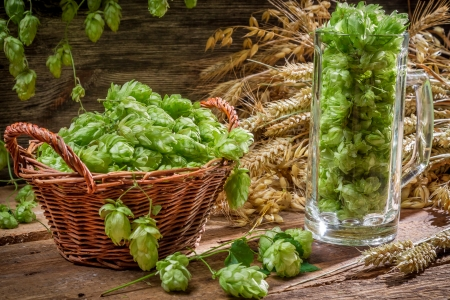 Hop cones collected in a wicker basket photo