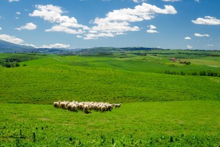 イタリアのトスカーナ州フィールドに羊の群れ