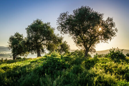 Olive trees at sunrise in summer photo