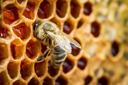Abelhas em uma colmeia no favo de mel