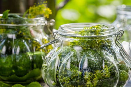 pickling: Fresh pickling cucumbers in the countryside