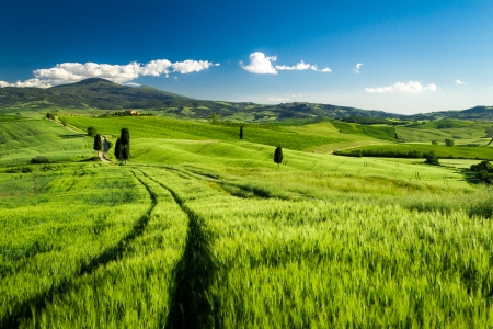 san quirico d'orcia: Green fields of wheat in Tuscany, Italy