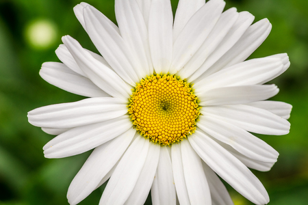 shasta daisy: Closeup of summer wildflowers - Daisy