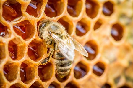 queen bee: Las abejas en una colmena de panal