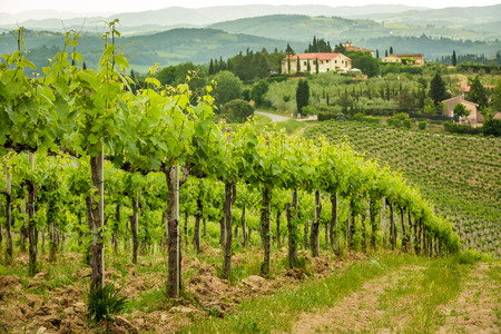 Fält av vinstockar på landsbygden i Toscana
