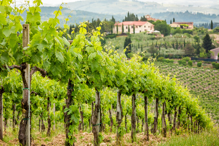 agriturismo: Field of vines on a background of a hacienda in Tuscany