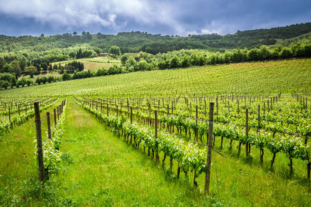 Fields of grapes in the summer, Italy photo
