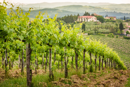 Field of vines in the countryside of Tuscany Stock Photo