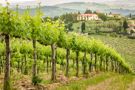 country house: Field of vines in the countryside of Tuscany Stock Photo