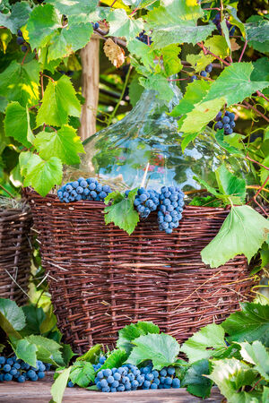 red oil lamp: Grapes and wine in a wicker basket