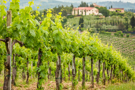Field of vines on a background of a hacienda in Tuscany photo