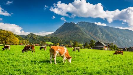 Herd of cows grazing in Alps photo