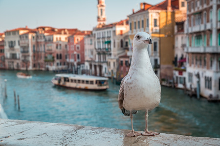 rialto bridge: Seagull on the Rialto Bridge in Venice Stock Photo
