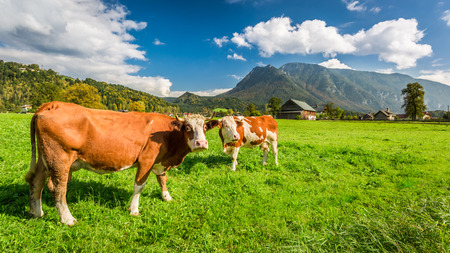 Cows on pasture in the Alps
