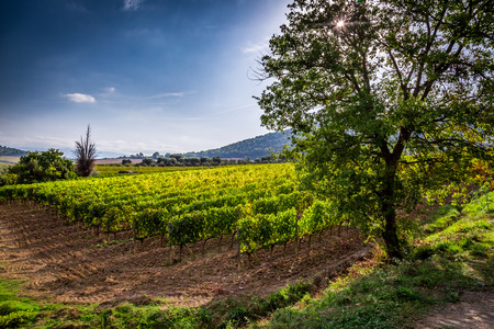 Fields of grapes in the summer, Tuscany photo