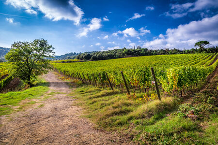 Fields of grapes in Italy photo