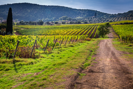 Endless fields of vines in Tuscany photo