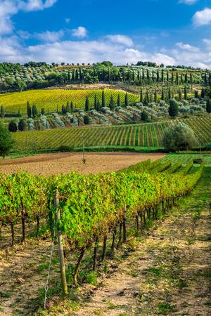 Plantation of vines near Montalcino in Tuscany photo