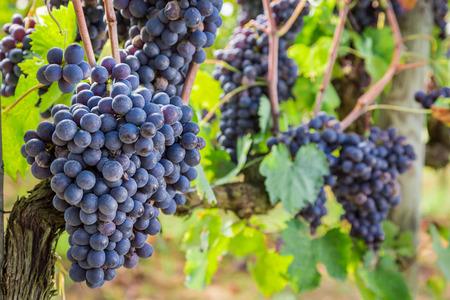 agriturismo: Ripe grapes on the vine