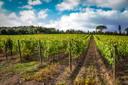 Fields of grapes in the autumn, Italy photo