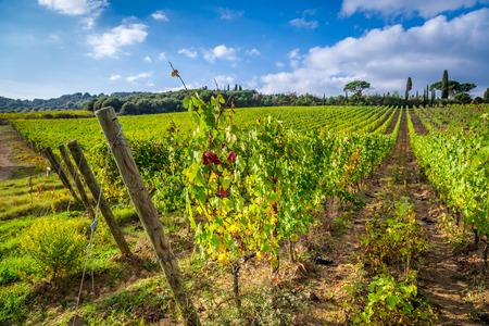 Vineyard full of grapes in Tuscany photo
