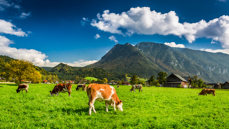 Herd of cows grazing in Alps photo