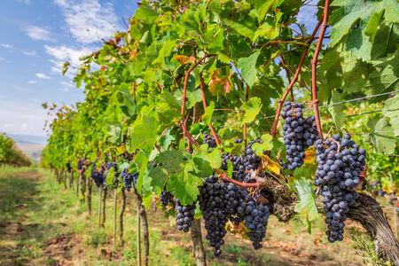 vi�edo: Vi�edo llena de uvas maduras en Toscana