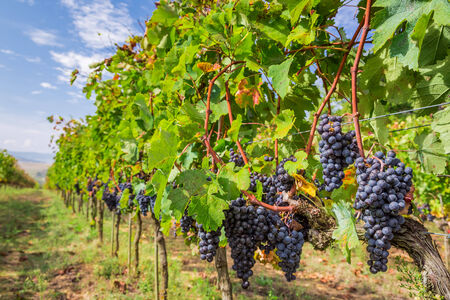 Vineyard full of ripe grapes in Tuscany photo
