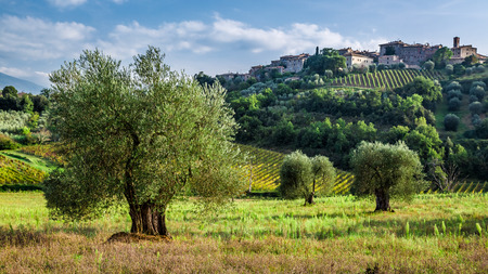 トスカーナのオリーブ畑とブドウ