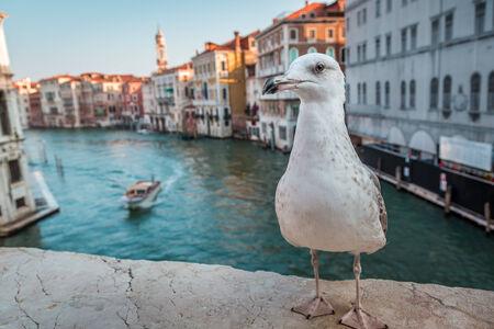 rialto: Seagull on the Rialto Bridge in Venice Stock Photo