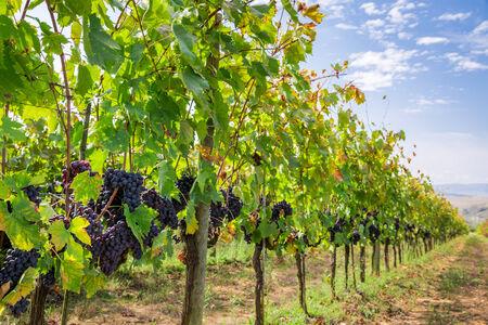 Ripe grapes on the vine photo