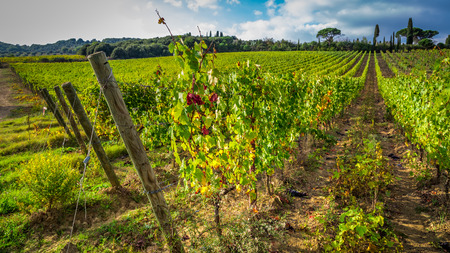 Beautiful view of the vineyards in Tuscany photo