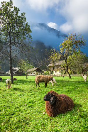 grazed: Sheep grazed on pasture in the Alps Stock Photo
